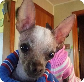 Xoloitzcuintle/Mexican Hairless/Chihuahua Mix Dog for adoption in Dallas, Texas - Bart