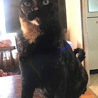 Domestic Shorthair Cat for adoption in Goldsboro, North Carolina - Penelope