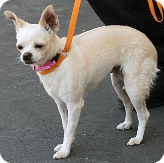 Chihuahua Mix Dog for adoption in Palmdale, California - Pumpkin