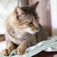 Domestic Shorthair/Domestic Shorthair Mix Cat for adoption in Lihue, Hawaii - Hila