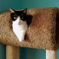 Domestic Shorthair/Domestic Shorthair Mix Cat for adoption in Venice, Florida - Marty 2