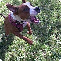 Boxer Mix Dog for adoption in Lorain, Ohio - Nova