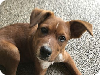 Shepherd (Unknown Type)/Australian Cattle Dog Mix Puppy for adoption in Southbury, Connecticut - Wes~adopted!