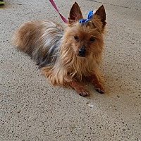 Yorkie, Yorkshire Terrier Dog for adoption in Huntington, Indiana - Bella