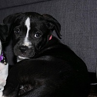 Adopt A Pet :: Britain - Phoenix, AZ