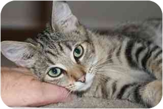 Japanese Bobtail Kitten for adoption in Cincinnati, Ohio - Anne