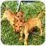 Photo 4 - Miniature Pinscher/Dachshund Mix Puppy for adoption in Osseo, Minnesota - Mickey