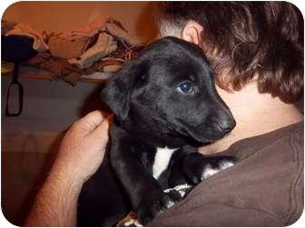 Labrador Retriever/Border Collie Mix Puppy for adoption in Westminster, Colorado - Atlanta