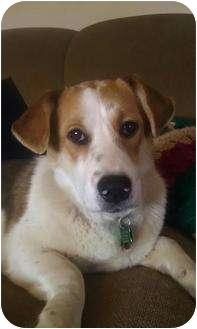 Corgi/Beagle Mix Dog for adoption in Cincinnati, Ohio - Augusta: ADOPTED!