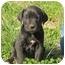 Photo 1 - Boxer/Golden Retriever Mix Puppy for adoption in Westbrook, Connecticut - Cowboy