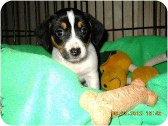 Beagle Mix Puppy for adoption in Naugatuck, Connecticut - Tina