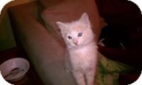 Siamese Kitten for adoption in Tampa, Florida - Cupcake