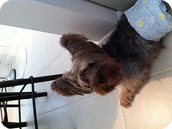 Yorkie, Yorkshire Terrier Mix Dog for adoption in Boca Raton, Florida - Elvis