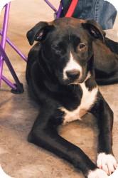 Labrador Retriever Mix Dog for adoption in Alpharetta, Georgia - Hartleigh