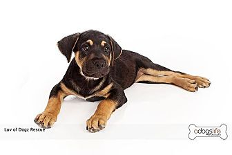 Golden Retriever/Rottweiler Mix Puppy for adoption in Scottsdale, Arizona - Shawn