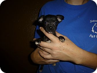 Papillon/Chihuahua Mix Puppy for adoption in Oviedo, Florida - Muffin