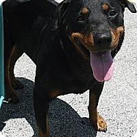 Adopt A Pet :: First Lady - Pembroke Pines, FL
