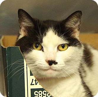 Domestic Shorthair Cat for adoption in Daytona Beach, Florida - Lilo