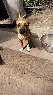 Chihuahua Mix Dog for adoption in Chicagoland area, Illinois - PATUNA