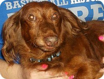 Dachshund Dog for adoption in Georgetown, Kentucky - Dasher