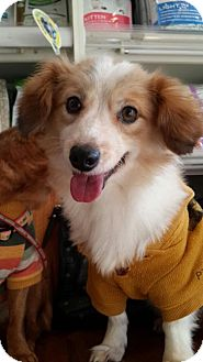 Terrier (Unknown Type, Small) Mix Dog for adoption in Fairfax, Virginia - Cupid