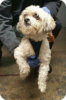 Shih Tzu Mix Dog for adoption in Bronx, New York - Gio