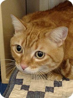 Domestic Shorthair Cat for adoption in Pueblo West, Colorado - Tink