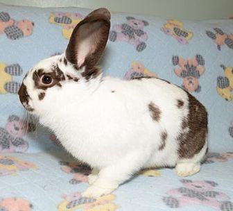 English Spot Mix for adoption in Chesterfield, Missouri - Higgins