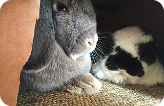Lop, Holland Mix for adoption in Los Angeles, California - Password