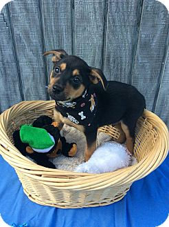 Cattle Dog/Terrier (Unknown Type, Medium) Mix Puppy for adoption in Moody, Alabama - Shepp