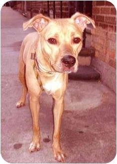 Labrador Retriever/Whippet Mix Dog for adoption in New York, New York - Hope