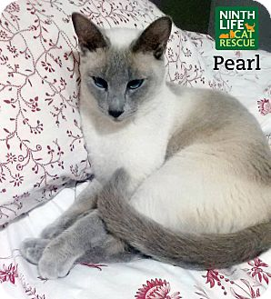 Siamese Cat for adoption in Oakville, Ontario - Pearl