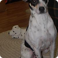 Rat Terrier Mix Dog for adoption in Manning, South Carolina - Isabelle