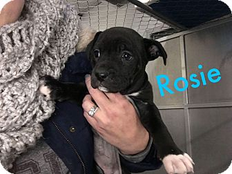 Labrador Retriever Mix Puppy for adoption in Middleton, Wisconsin - Rosie