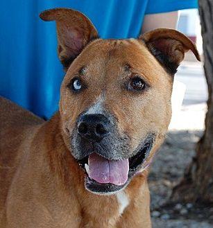 Boxer/Retriever (Unknown Type) Mix Dog for adoption in Las Vegas, Nevada - Briggs