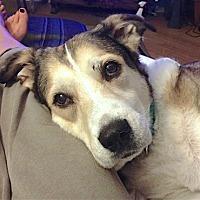 Labrador Retriever/Husky Mix Dog for adoption in Marina del Rey, California - SADIE
