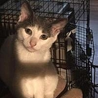 Domestic Shorthair Cat for adoption in Crown Point, Indiana - Pee Wee Tut Tut