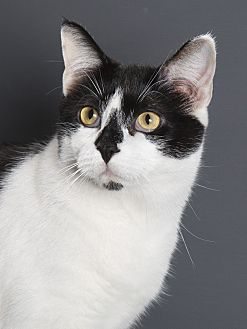 Domestic Shorthair Cat for adoption in Nashville, Tennessee - Bentley