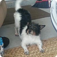 Schnauzer (Miniature)/Yorkie, Yorkshire Terrier Mix Dog for adoption in Palm Bay, Florida - Snookie