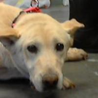 Labrador Retriever Mix Dog for adoption in Los Lunas, New Mexico - CHUBBS