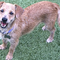 Adopt A Pet :: Lester always happy - Norwalk, CT