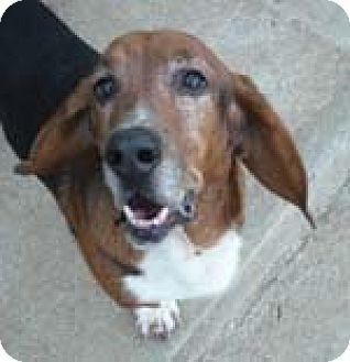 Basset Hound Dog for adoption in Charleston, South Carolina - Luke