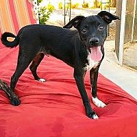 Adopt A Pet :: Charlie - Las Vegas, NV