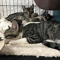 Adopt A Pet :: Clay - Fallbrook, CA