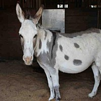 Adopt A Pet :: RIGOLETTO - Union, MO