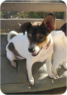 Jack Russell Terrier Puppy for adoption in Dallas/Ft. Worth, Texas - Rozzi in San Antonio