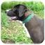 Photo 1 - Labrador Retriever/Basset Hound Mix Dog for adoption in Wyoming, Minnesota - Hattie