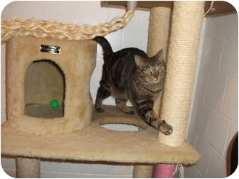 Domestic Shorthair Cat for adoption in Edwardsville, Illinois - Dash