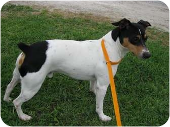 Rat Terrier Dog for adoption in Vidor, Texas - HARLEY