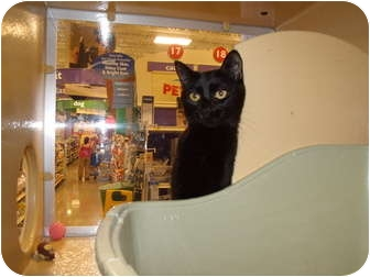 Domestic Shorthair Cat for adoption in Vails Gate, New York - Harmony